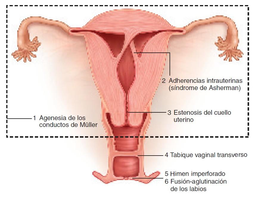 Magnífico Anatomía Del Vigina Patrón - Anatomía de Las Imágenesdel ...