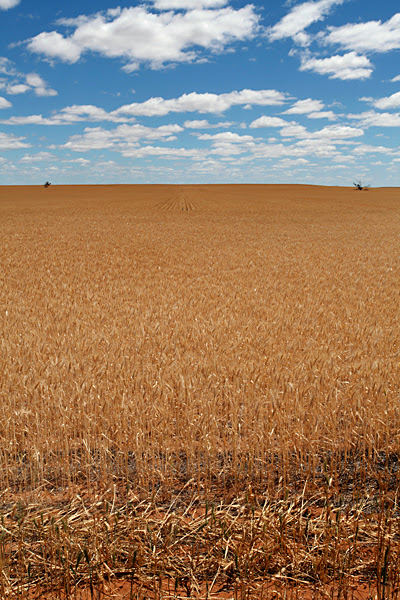 Mallee Wheat