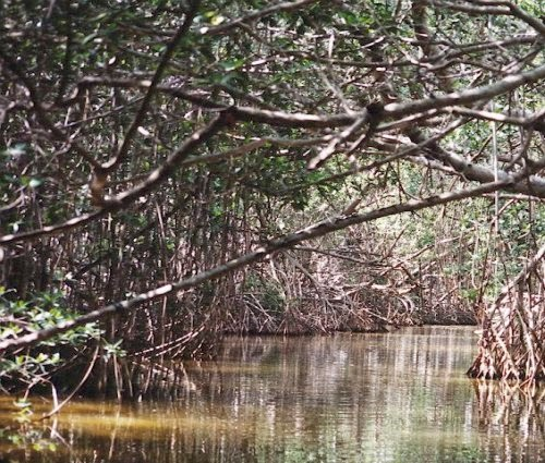 Mangrove Swamp Tree picture 1