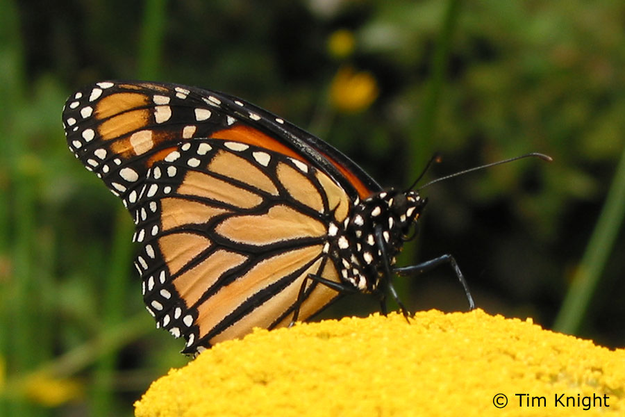 Monarch butterflies |Funny Animal