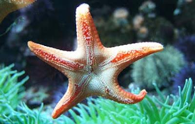 Misteri Mata Bintang Laut