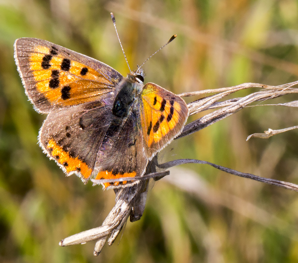 Small Copper, Lycaena phlaeas.  Near Downe, 23 August 2014