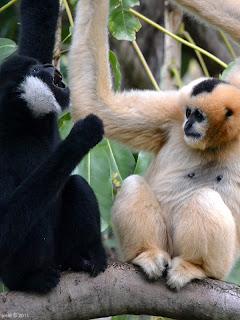funky gibbons
