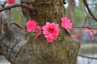 Hoa đào ngày Tết