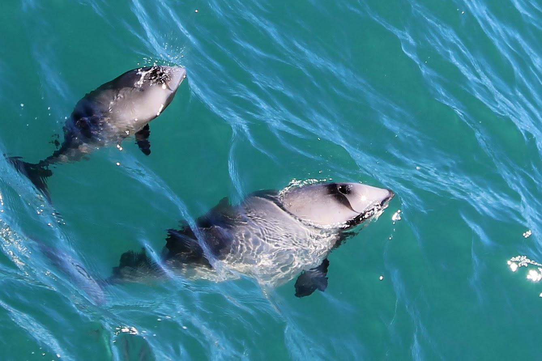 Suivez ces dauphins pour découvrir toutes les photos d'Akaroa!
