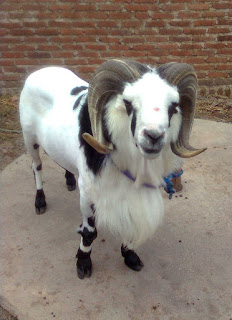 Seni (Adu) Ketangkasan Domba di Tips Wisata Murah