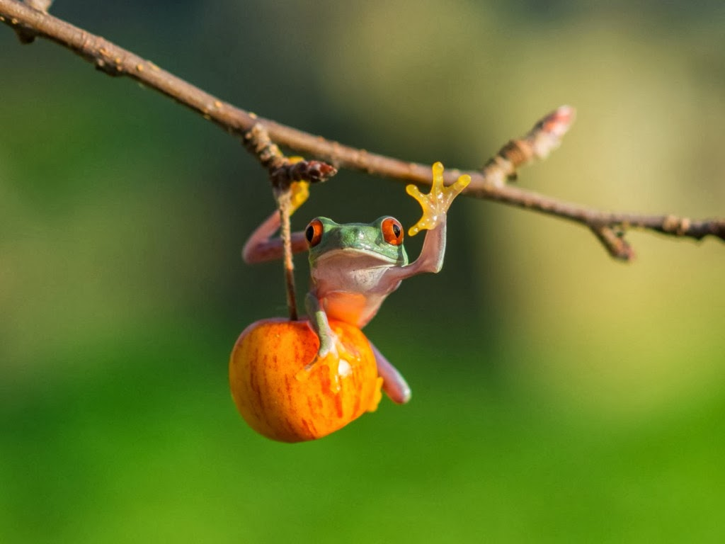 "<img src=""http://2.bp.blogspot.com/-bTST--zfWUk/UtmEN8ByfmI/AAAAAAAAInc/dCmRGTHqcY8/s1600/animal-wallpapers-frog-swing.jpeg"" alt=""frog swing"" />"