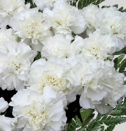 Ferns n petals meaning of white carnation meaning of white carnation mightylinksfo