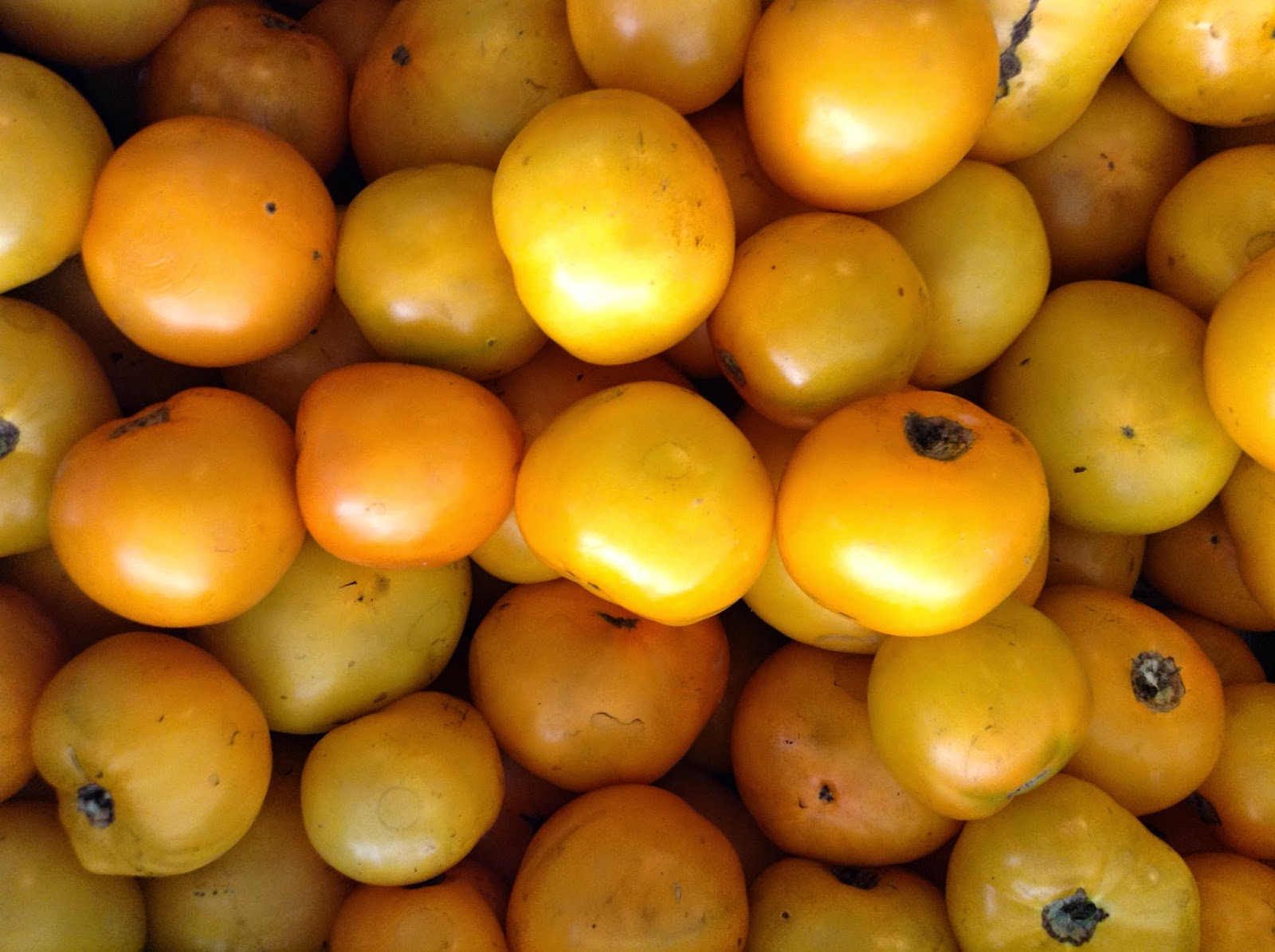 yellow gold tomatoes