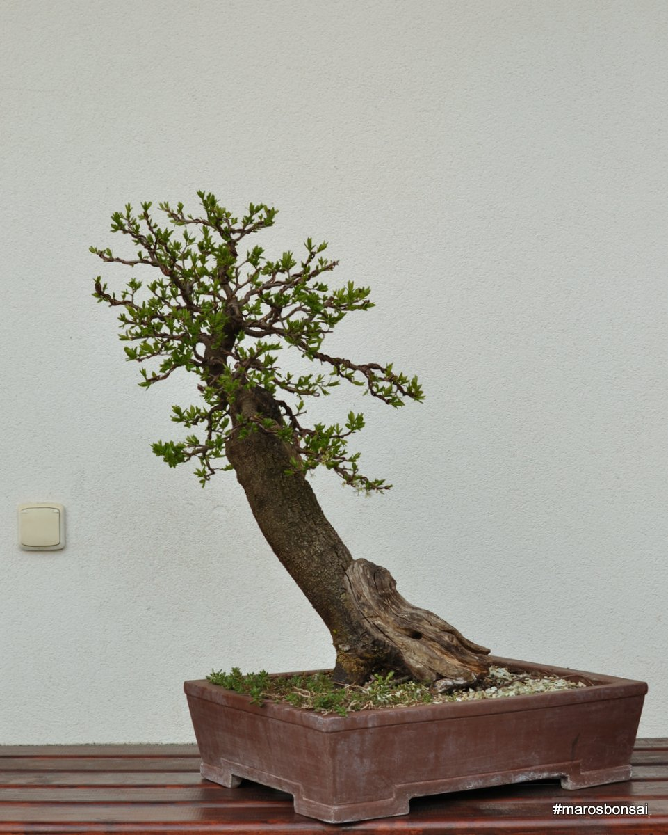 Maros Bonsai Blog Prunus Spinosa No1
