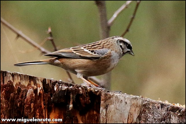 Hide-Ornitología-Hostal-Almanzor-Gredos_6