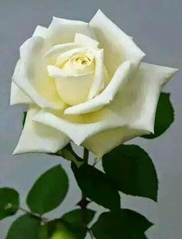 A poesia é Uma Rosa!...