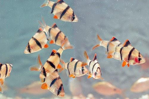 Cá Tứ Vân