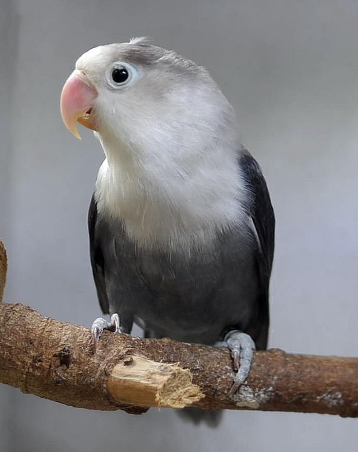 eye ring fischers philippine lovebirds
