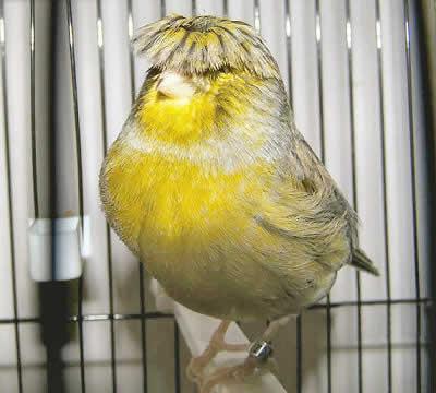 gloster canary memiliki dua versi burung yang berjambul