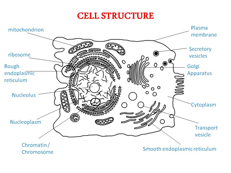 chapter 3 cell structure notes The cell is the basic structural, functional, and biological unit of all known living  organisms a cell is the smallest unit of life cells are often called the building  blocks of life the study of cells is called cell biology cells consist of cytoplasm  enclosed within a membrane, which contains  a prokaryotic cell has three  architectural regions.