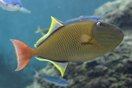 Redtail triggerfish (male)
