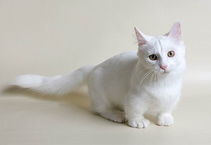 Photos Scottish Fold Cat Kitty Cute Kittens Meow Cats Neko Scottish also Scottish Fold Cat Breed also Cutest Cat Breed Ever further Funny Munchkin Cat moreover Ragdoll Munchkin Cat Kitten. on fat scottish fold munchkin cat