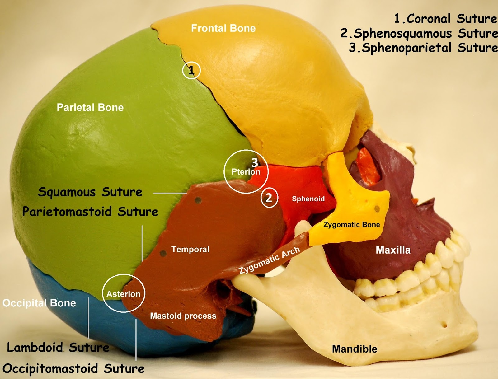 Anatomy Made Easy Lateral View Of Skull
