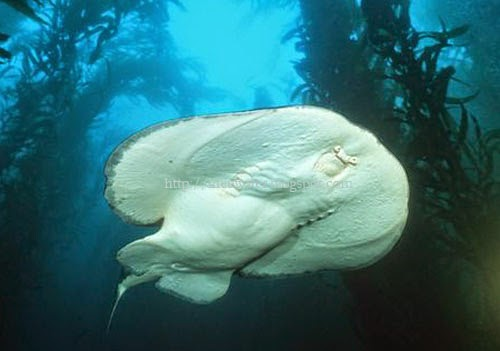 Electric ray or Pacific Torpedo Ray