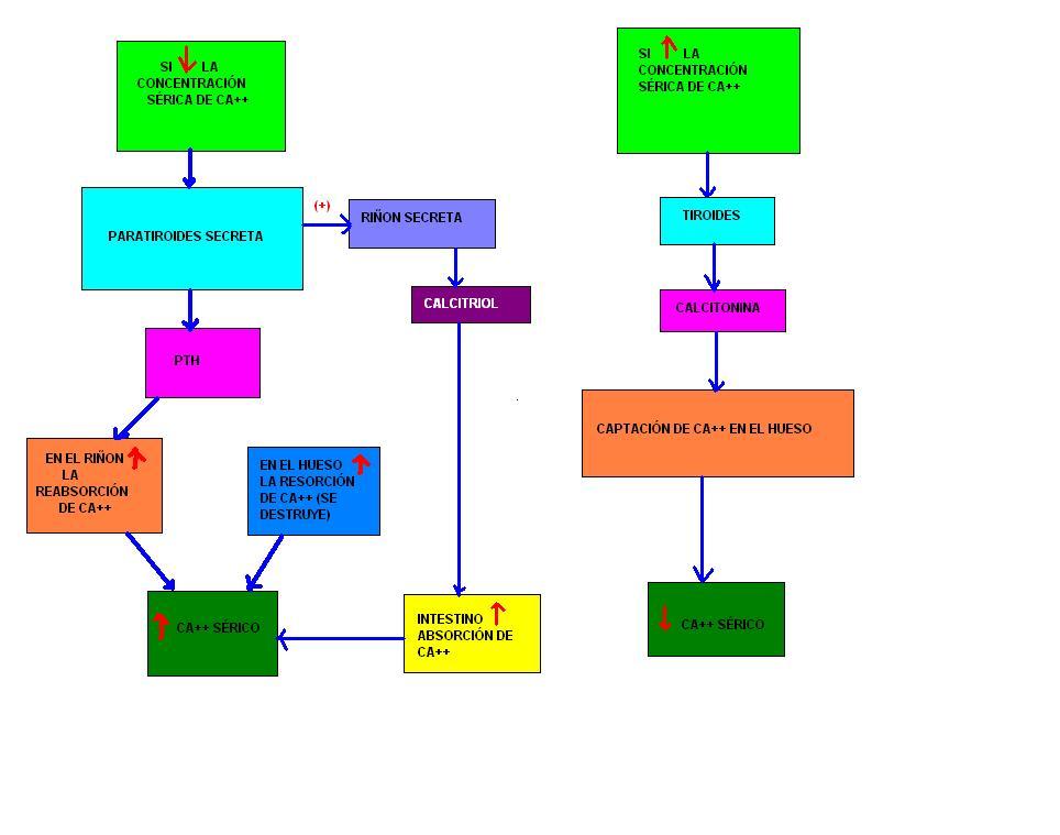 Sistema Endocrino | Sistemas del Cuerpo Humano
