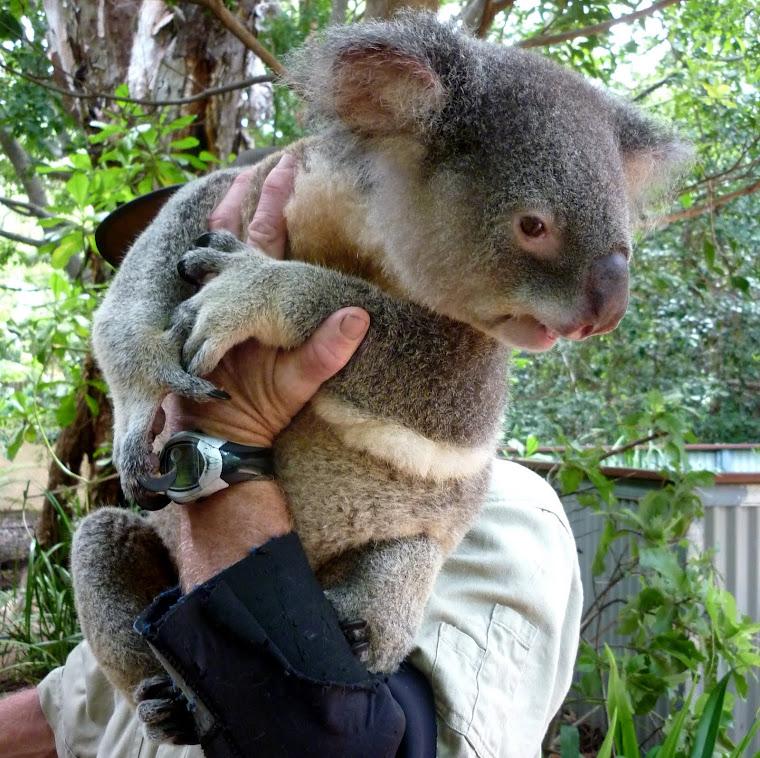 Magnetic Island Marsupials.