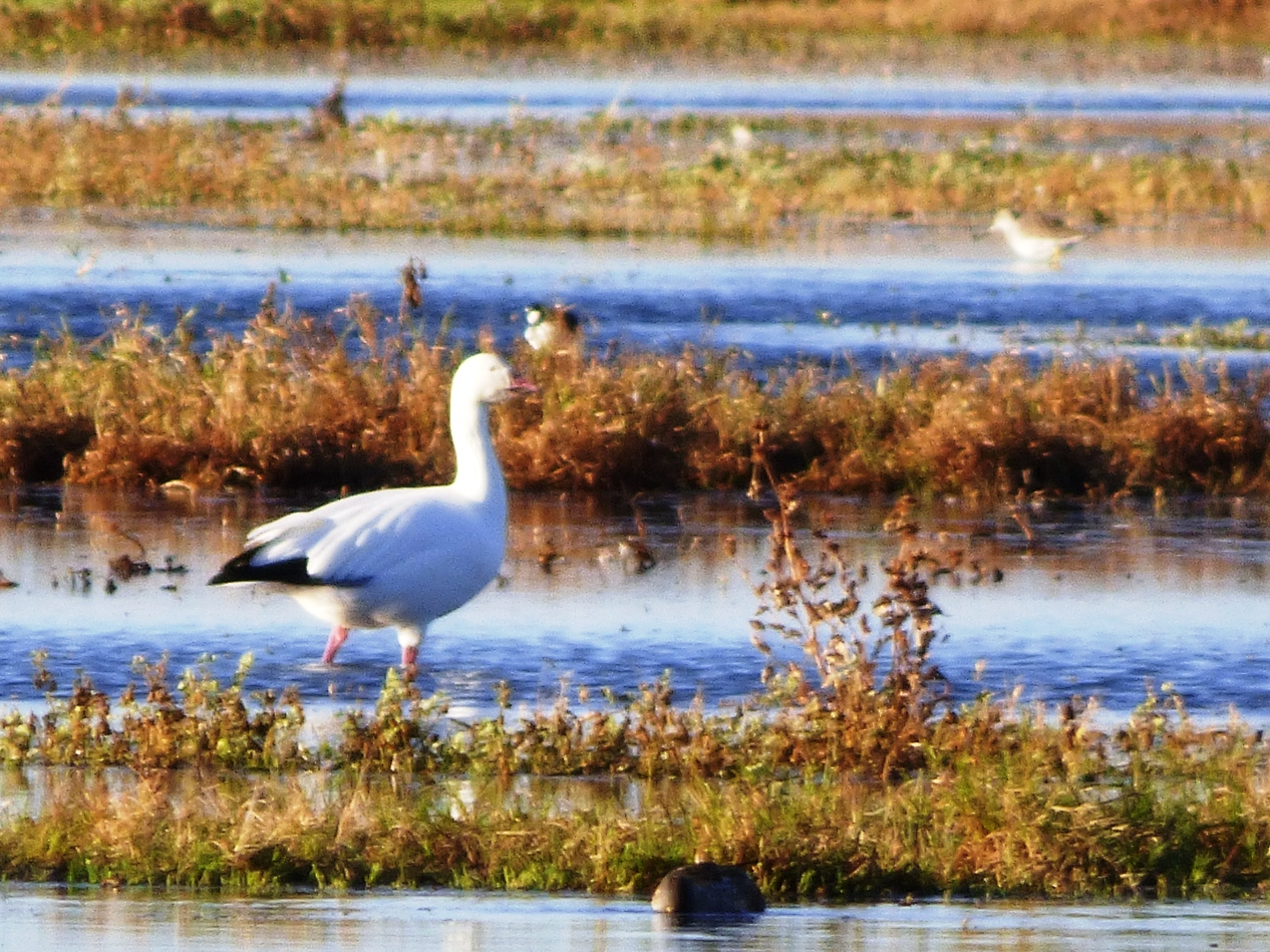 Geotripper\'s California Birds: Some Early Arriving Snow Geese at ...