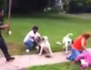 perros pitbull blancos atacando a una mujer