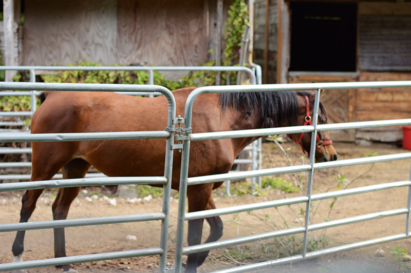a horse trotting towards a stable