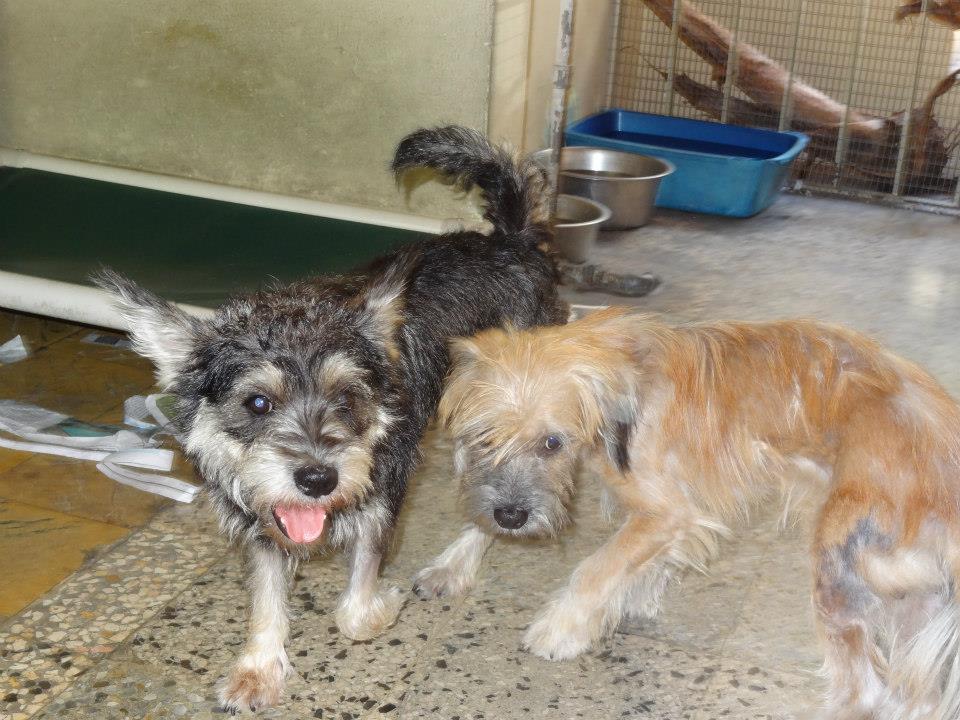 Puerto Rican Street Dog Breed