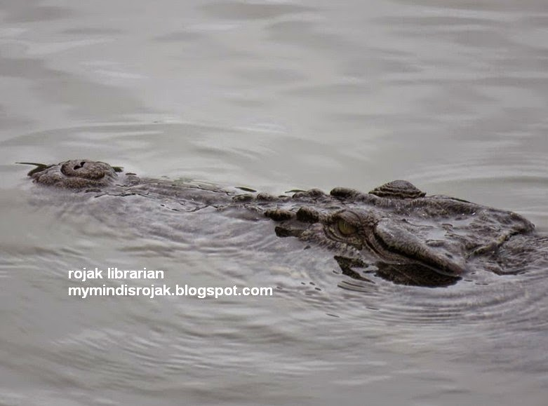 estuarine crocodile in sungei buloh wetland reserve