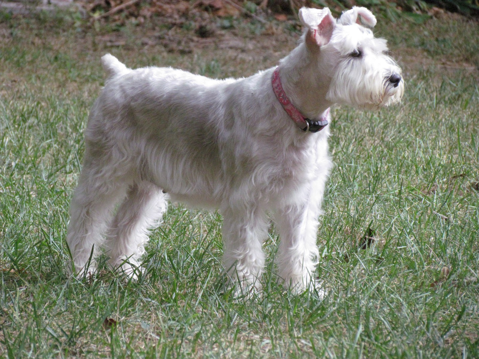 Virginia Schnoodle Breeder --Hypoallergenic Dogs: Dixie Gets a Haircut