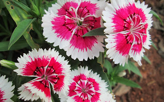 one of Dianthus variety