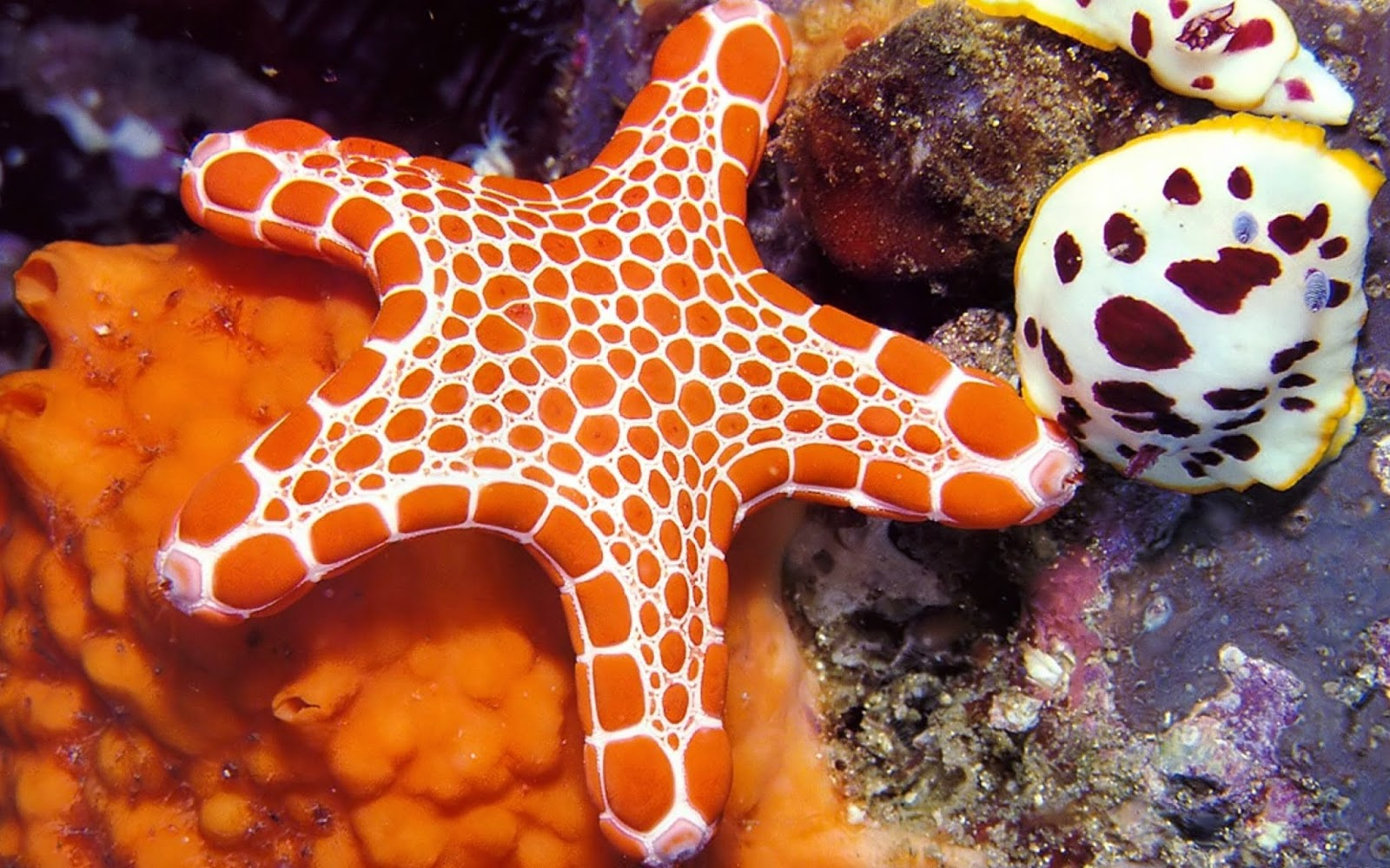 Starfish wallpapers HD - Beautiful wallpapers collection 2014