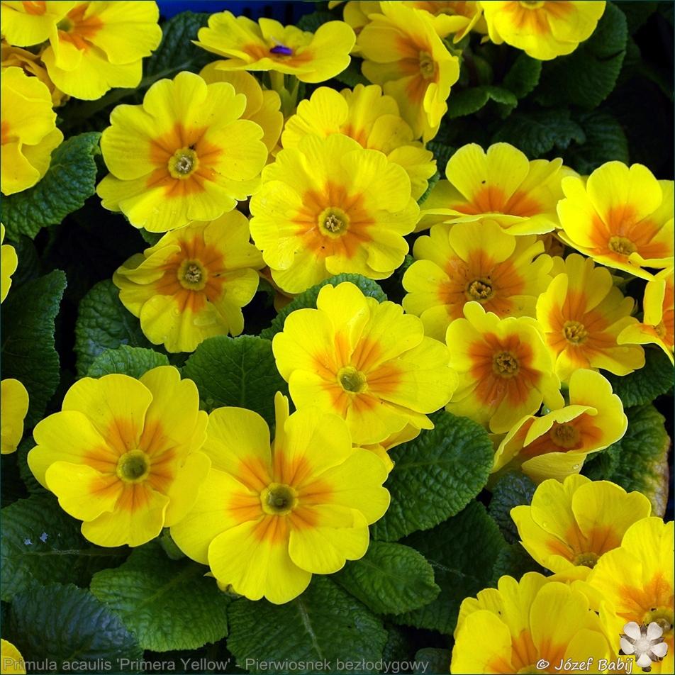 Primula acaulis (vulgaris) 'Primera Yellow' - Pierwiosnek bezłodygowy