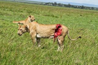 wounded lioness Siena raakt ernstig gewond op de Masai Mara