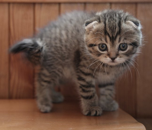 The Scottish Fold – Owl Cat Extraordinaire | The Ark In Space
