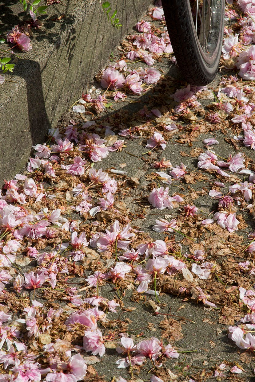 shadow of a bike with pink blossoms
