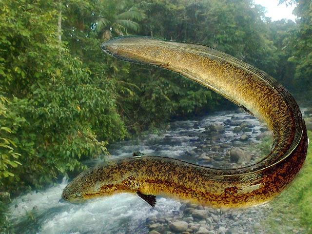 Peluang Bisnis Rumahan Budidaya Ikan Sidat