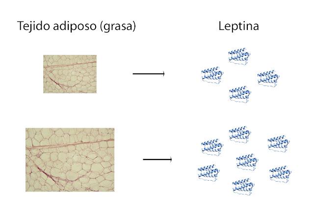 La cantidad de leptina en sangre depende de la cantidad de grasa