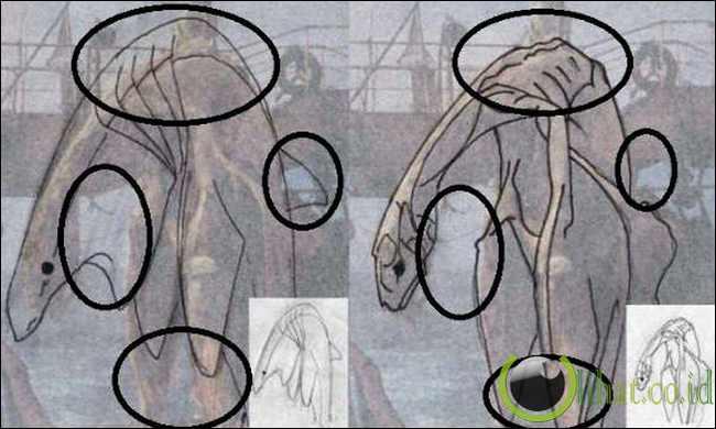 Perbandingan Bangkai dengan Paus (kanan), Perbandingan bangkai dengan Plesiosaurus (kiri)