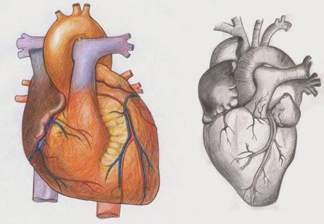 kalbin-fizyolojik-ozellikleri