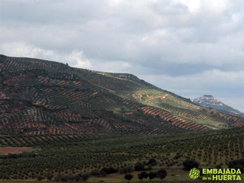 Campos de olivos variedad Picual