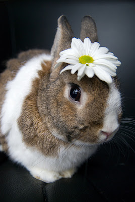 foto coelho com flor