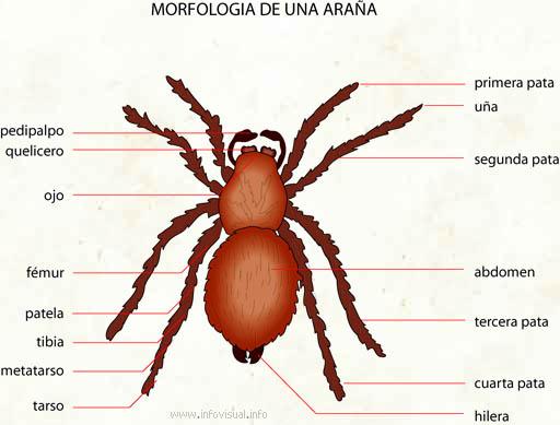 Clase Arachnida