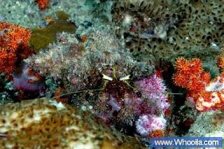 011+DSC 1442 2+ +Whooila.com Foto/Gambar Pemandangan Indah dibawah Laut Pulau Anambas