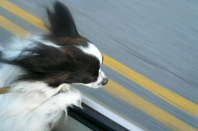 Funny Dog Faces at 50 MPH Seen On www.coolpicturegallery.us