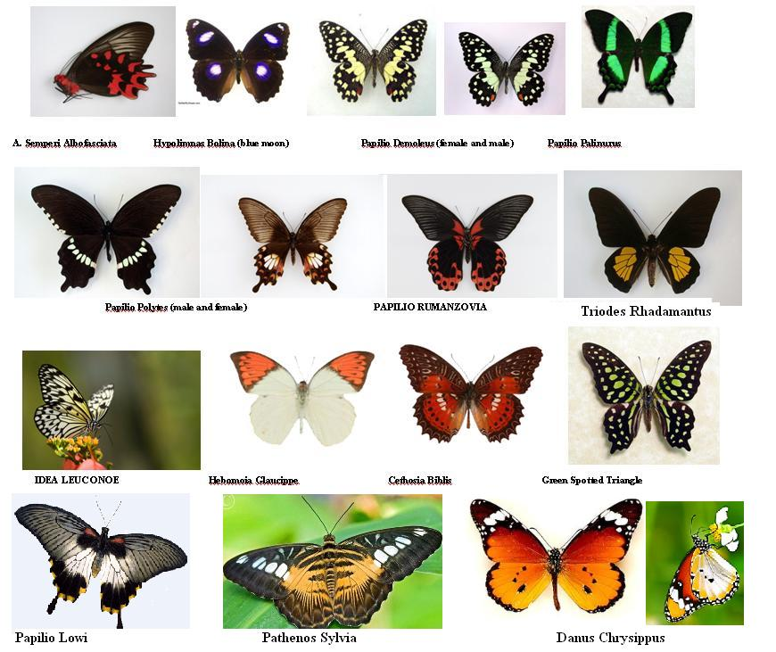 Butterfly species list with pictures - photo#1
