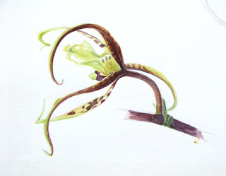 Brassia arania verde, Spider orchid watercolour study by Shevaun Doherty