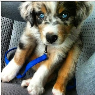 Goberian - Golden Retriever/Siberian Husky Mix